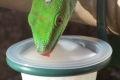 Grote daggekko